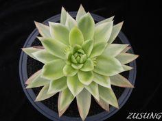 Echeveria agavoides variegated   Flickr - Photo Sharing!