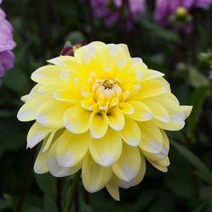 Dahlia Yellow Perception