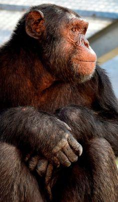 Volunteer at the Jane Goodall chimpanzee sanctuary in South Africa. Monkey Art, Pet Monkey, Volunteer In Africa, Animal Makeup, Baby Animals, Cute Animals, Jane Goodall, Planet Of The Apes, Animal Projects