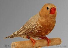 Zebra Finch Orange https://fbcdn-sphotos-e-a.akamaihd.net/hphotos-ak-prn1/q75/s720x720/1013510_4503389441271_242577046_n.jpg