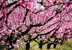 Belle of Georgia Pfirsichbaum Gaucho, Trees Online, Peach Trees, Eat Fruit, Spring Blossom, One Tree, Edible Garden, Grow Your Own, In The Flesh