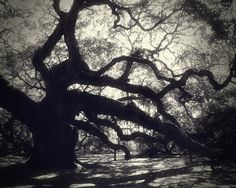"Nature Photography, ""Angel"" 8x10 Print, Angel Oak, Living Oak, North America's oldest tree, South Carolina, John's Island, black and white"