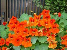 Настурция очень теплолюбива, поэтому не нужно спешить сеять семена настурции в саду. Попавшие под заморозки сеянцы настурции неминуемо погибнут. Для озеленения балкона и для раннего цветения в сад…