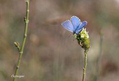 Pendant trois semaines , j'ai usé mes semelles sur les chemins du Cantal et du Lot... Pendant trois semaines, les randonnées furent ponctuées du vol coloré des papillons, butinant les prairies encore fleuries ! Le ciel était bleu et, hallucination