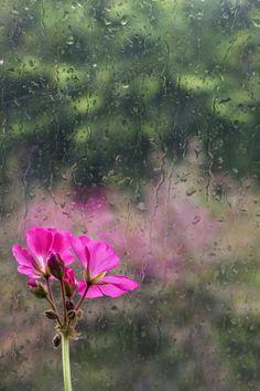 It's raining Geranium