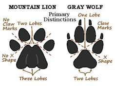 cougar vs wolf tracks | MOUNTAIN LION SAFETY TIPS
