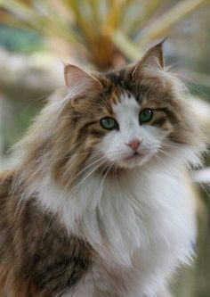What a beautiful Norwegian Forest cat…..