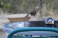 Sparrow in flight.