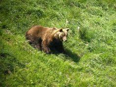 Macho cantábrico adulto. En la coordillera cantábrica en 1994 sólo había 70 osos.