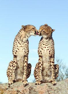 cheetah kiss :)
