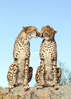 "Fantastic two ""kissing Cheetahs"". Boy, not easy to spot them on a safari in South Africa or Cape Town"