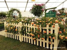 The judges presented David Austin Roses' stand with a Gold Medal, and the prestigious title of Best Rose Exhibit, inside The Festival of Roses Marquee, at the RHS Hampton Court Palace Flower Show Hampton Court Flower Show, Rhs Hampton Court, Garden Arbours, Shows 2017, David Austin Roses, Judges, Real Flowers, Beautiful Roses, Fences