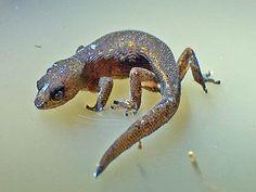 Gecko pigmeo brasileño, mide de 2a4 cm y es hidrofobico