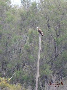 Osprey, Águila pescadora (Pandion haliaetus)