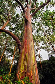 Rainbow Eucalyptus Seeds Tropical Tree Seeds Home Decoration Beautiful Eucalyptus Tree Plant For Garden Planting Bonsai, Rainbow Eucalyptus Tree, Weird Trees, Unique Trees, Tree Seeds, Parcs, In The Tree, Trees To Plant, Garden Plants