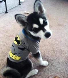 To the bat cave, Klee Kai!