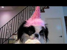 Japanese Chin puppy eats cupcake.