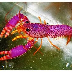 I WANT THIS IN OUR SALT WATER TANK!!!! What a beautiful lobster!!! (Yes, I am an aquarium nerd! lol)