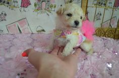 Maltipoo puppy for sale in Texas. Maltipoo Puppies For Sale, Toy Dog Breeds, Dog Toys, Texas, Dogs, Animals, Animales, Animaux, Animal Memes