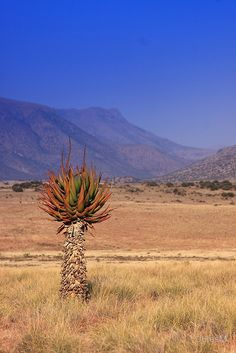 Magnificent Aloe in the Karoo by JulesM
