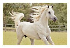 Ansata Suleyman (Ansata Ibn Sirius x Ansata Bint Serqit) 2007 Grey Stallion  Straight Egyptian/ Al Khamsa  Tail Male Saklawi I  Tail Female: El Dahma