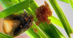 Så ser fästingäggen ut – och det här ska du göra med dem | Land.se Kulor, Insects, Ska