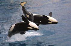 Orque Marineland: le spectacle des orques                                                                                                                                                                                 Plus