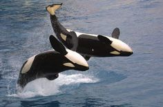 Orque Marineland: le spectacle des orques
