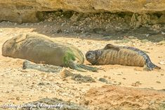 Hawaiian Monk Seal Honey Girl gave birth to her Pup on the of May 2019 - North Shore, Hawaii Oahu Hawaii, Kauai, Hawaiian Monk Seal, Harbor Seal, Seal Pup, The Monks, Hawaiian Islands, Sandy Beaches, North Shore
