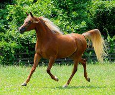 Poet's Manor Arabians - Horses for sale