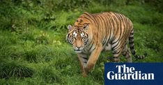 Campaigners welcome China U-turn on rhino and tiger products   World news   The Guardian