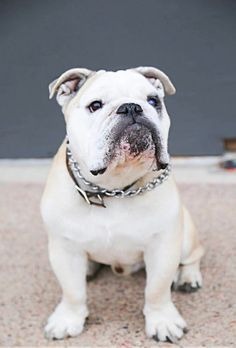 This handsome guy! Bulldog Puppies, Cute Puppies, Cute Dogs, Dogs And Puppies, Doggies, Baby Animals, Cute Animals, Baby Bulldogs, Bully Dog