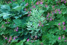 Pink flower of Geranium macrorrhizum  'Bevan's Variety' scattered in the Shade Path Garden . White variegated Sedum 'Frosty Morn' stands...