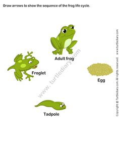 Learn about the life cycle of a frog with this fun, interactive science game for kids! Label, arrange, and play in the Frog Life Cycle from Turtle Diary! Science Games For Kids, Science Lessons, Science Activities, Classroom Activities, Preschool Ideas, Classroom Ideas, Animal Worksheets, Science Worksheets, Kindergarten Worksheets