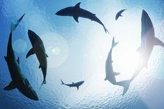 DEMA Lobbying U.S. Congress To Pass 'Shark Fin Sales Elimination Act'
