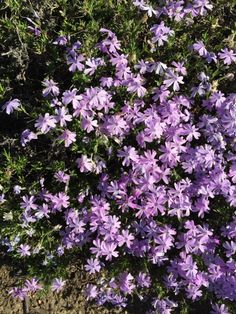 Moss Pink Phlox (phlox subulata): This looks like Moss Pink, a small perennial ground cover that grows just 6 inches tall with narrow, needle-like foliage and pink, white or lavender blooms in late spring or early summer. Cut back 50% after blooming to encourage another bloom cycle.  Needs full to part sun, medium moisture, and the occasional fertilizing with an organic slow release product would be great, too.  Thank you and Happy Gardening!