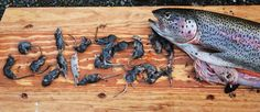 Rainbow Trout caught with 20 shrews in stomach, Alaska