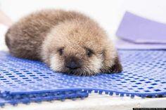 Chicago Shedd Aquarium baby otter