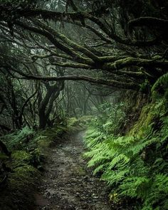 Path through a scary forest - Anaga mountains, Tenerife Fantasy Forest, Dark Fantasy, Mystical Forest, Fantasy Art, Tenerife, Beautiful World, Beautiful Places, Forest Path, Deep Forest