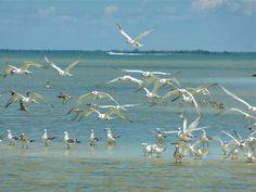 Birds on North Captiva Captiva Island, Gulf Of Mexico, Coastal Cottage, Beach Bum, Day Trips, Old World, Seaside, Beaches, Photographs