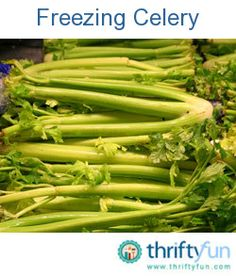 This is a guide about freezing celery. Often when we buy celery at the market there are leftovers. Although it will no longer be crisp, celery can be frozen to use in cooking.