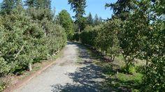 P1130785 | by UBCgarden Espalier Fruit Trees, Sidewalk, Explore, Side Walkway, Walkway, Walkways, Pavement, Exploring
