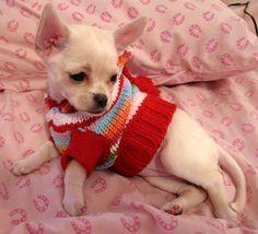 Chihuahua striking a pose