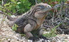 "Another Cayman Brac Iguana killed  15 June 2012. He was killed by a speeding motorist.  ""S"" would sit and guard a baited box where the Iguanas were capture & tag for conservation. http://www.compasscayman.com/caycompass/2012/06/15/Another-Cayman-Brac-iguana-killed/    The rock iguana (Cyclura nubila Caymanensis) is unique to the ""sister islands"" Cayman Brac and Little Cayman.  http://www.naturenotes19n79w.ky/history-status-and-future-for-rock-iguana-cyclura-nubila-caymanensis-on-cayman-brac"