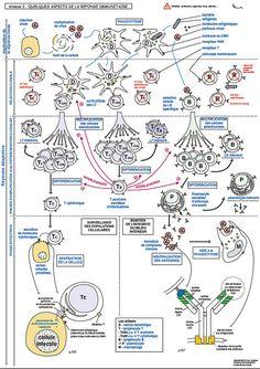 Immunité adaptative