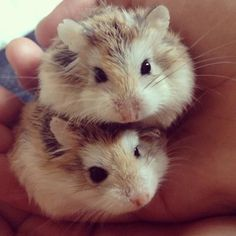 Two hamsters. So cute :) #hamstersaspetsnames