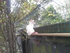 High on the fence, free to see the neighbours but not free to roam #fencing #catification #diy #recycled #cat