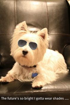 westie in the shade