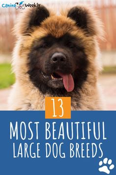 Here at Canine Weekly we love big breed dogs. Big breeds can be gentle giants or fearless protectors. They can make for great family dogs, be an asset to our military services, and are determined and loyal service dogs. We want to share our favorite large dog breeds with you. Here are 13 beautiful latge dog breeds that we can't get enough of. Top Dog Breeds, Large Dog Breeds, Small Breed, Most Beautiful Dog Breeds, Beautiful Dogs, Big Dogs, Large Dogs, Long Haired German Shepherd, Companion Dog