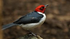 Red-capped cardinal (Paroaria gularis) | Yakari Eco Lodge, Puerto Maldonado (Peru)